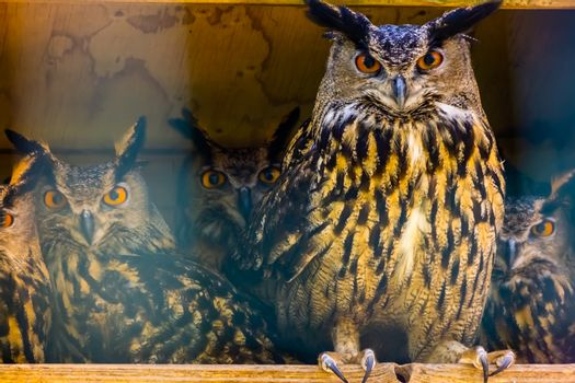 beautiful portrait of a group of eurasian eagle owls, popular bird specie form Eurasia