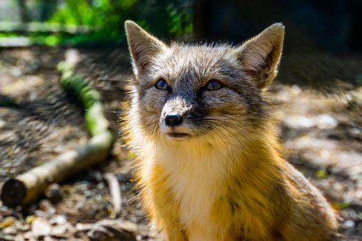 cute corsac fox with its face in closeup, tropical wild dog specie from Asia