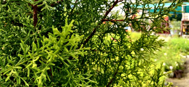 Plant thujopsis that gives a forest fell in New Delhi, India