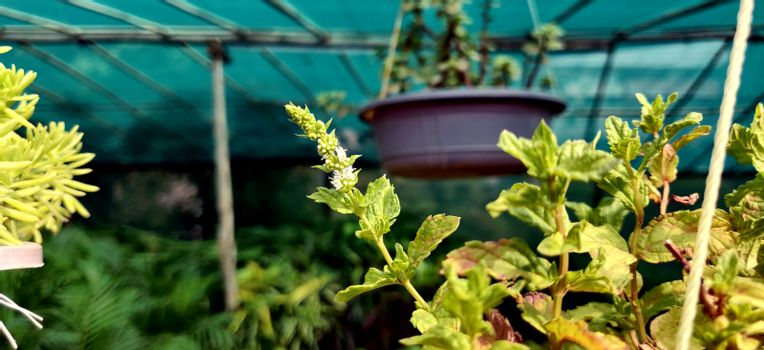 Flower of a spearmint plant in a nursery in New Delhi, India