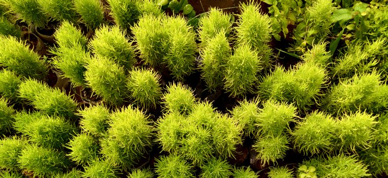 Bassia scoparia shrubs and plants from top angle