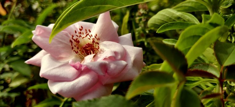 Pink Camellia flower blooming in the midst of leaves