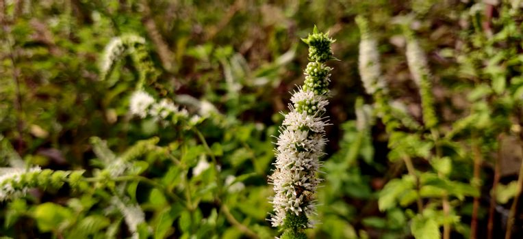 Apple mint white flower surrounded by green leaves