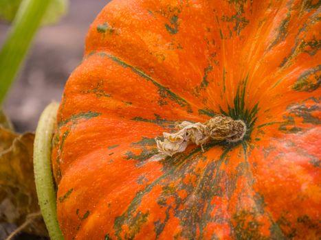 Pumpkin growing in the vegetable garden. Autumn pumpkins in a garden. Orange pumpkins at outdoor farmer market. Pumpkin in rural scene.