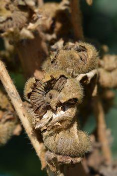 Common hollyhock seed head - Latin name - Alcea rosea
