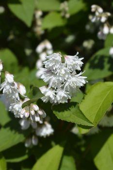 Fuzzy deutzia Flore Pleno - Latin name - Deutzia scabra Flore Pleno