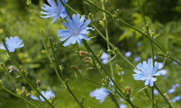 Close up view of blue chicory flower on the grass in the park. Macro shooting, camera slowly moving along the flowers. Seasonal scene. Natural background