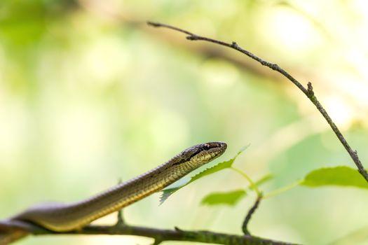 Non venomous Smooth snake, Coronella austriaca climb on tree, Czech Republic, Europe wildlife