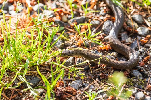 Non venomous Smooth snake, Coronella austriaca crawling on the ground, Czech Republic, Europe wildlife