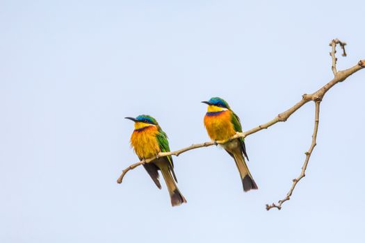 beautiful colored pair of small birds Blue-breasted bee-eater (Merops variegatus) perched on tree, Ethiopia Africa wildlife