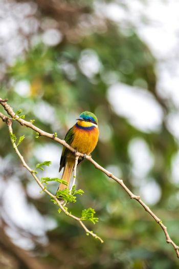 beautiful colored small bird Blue-breasted bee-eater (Merops variegatus) perched on tree, Ethiopia Africa wildlife