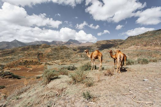 Cute wild camels in Simien mountain, Tigray region countryside near Mekelle, Northern Ethiopia.