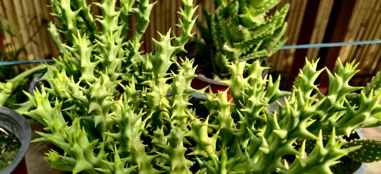 Stapelia succulent plant with thorns