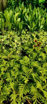 Green feren, coleus plant bunch in a garden