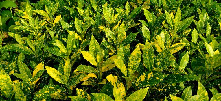 close up of garden corton, Japanese laurel plants