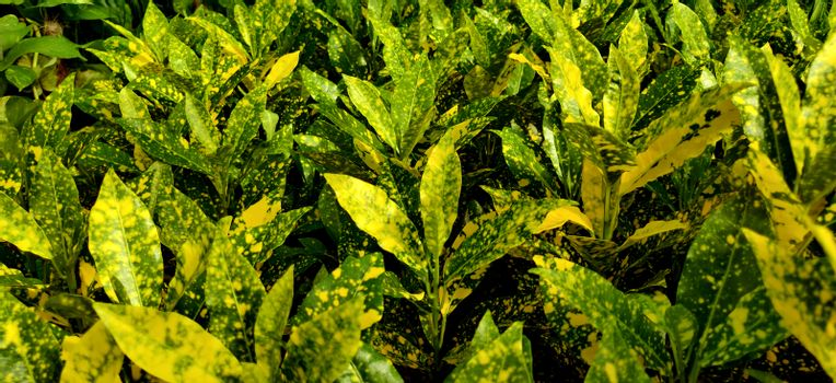 A close look at the Japanese laurel plants in a nursery