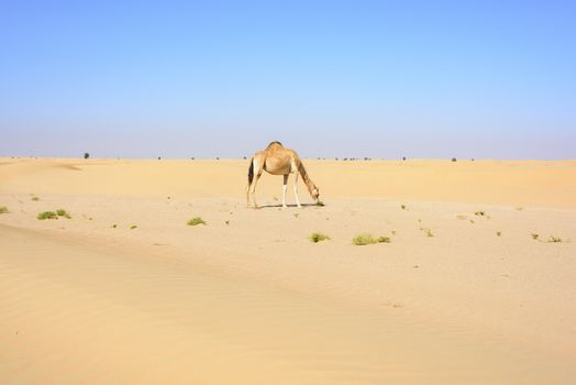 Camel walking in the Desert, Dubai Emirates, UAE