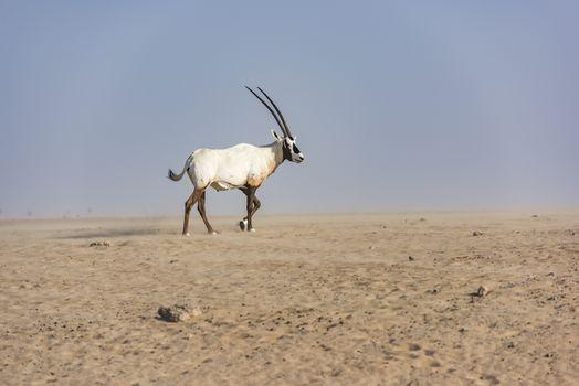 An Arabian oryx walking in Dubai Desert against a small sandstorm, United Arab Emirates