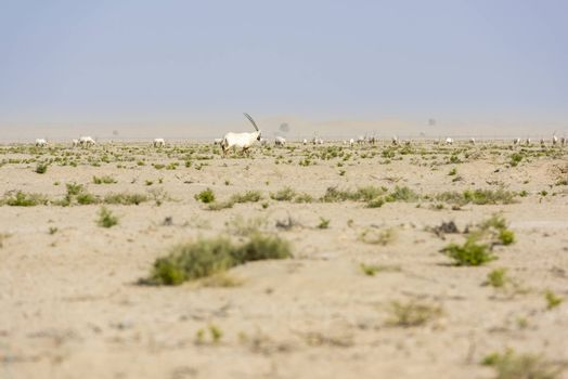 Group of Arabian oryx in a park near the Dubai bycicle track in the desert.