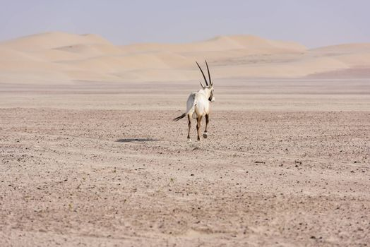 The Arabian oryx was extinct in the wild by the early 1970s, but was saved in zoos and private reserves, and was reintroduced into the wild starting in 1980. It was only saved from extinction through a captive breeding program and reintroduction to the wild.
