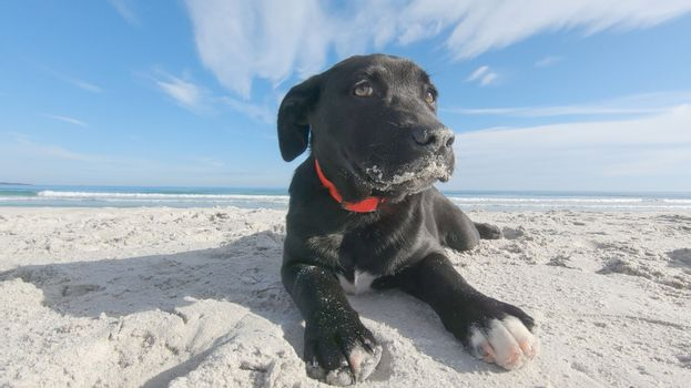 Close-up of a black puppy dog with the snout dirty of sand, low ears and the guilty look abandoned on a white beach in search of family and master
