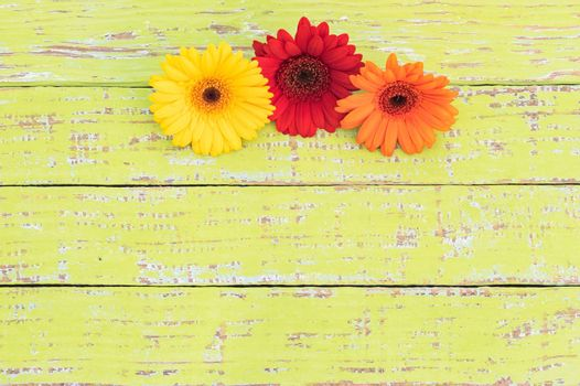Colorful gerbera daisy flowers on colored wood with copy space