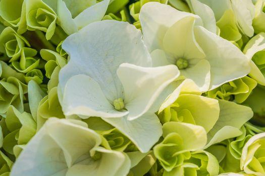 Close-up of white hydrangea petals