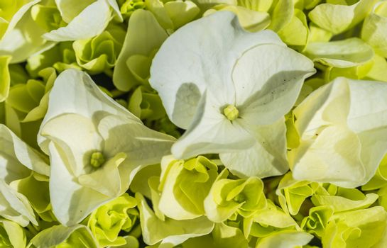 Close-up of hydrangea flowers with white blossoms and buds