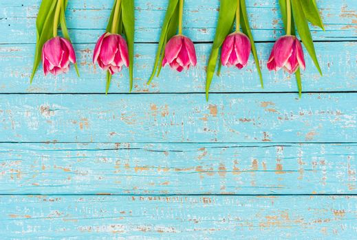 Fresh pink tulip spring flowers on blue wooden background with copy space