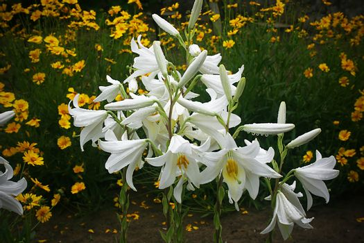 White lily flowers in the garden after rain