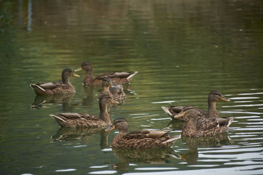 Flock of ducks swimming in the lake, family, spring, reflections, brown, tranquility