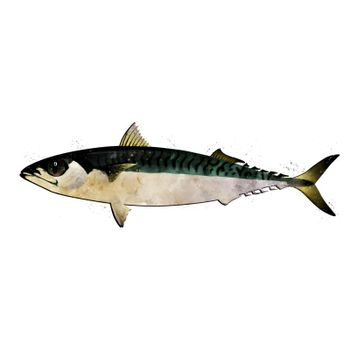 Mackerel, isolated raster illustration in watercolor style on a white background.