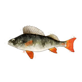 Perch, isolated raster illustration in watercolor style on a white background.