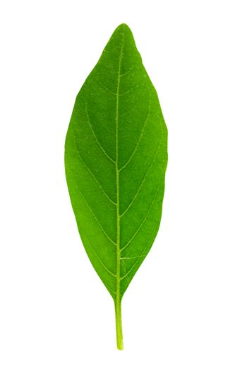leaf isolated on a white background with clipping path.