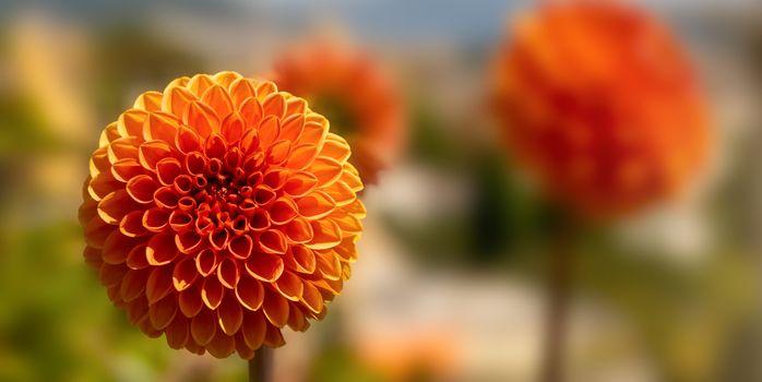 Orange ball flower with blurred background.
