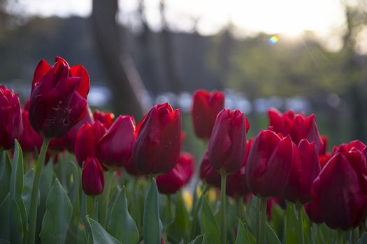 Flower tulips background. Beautiful view of red tulips under sunlight landscape at the middle of spring or summer.