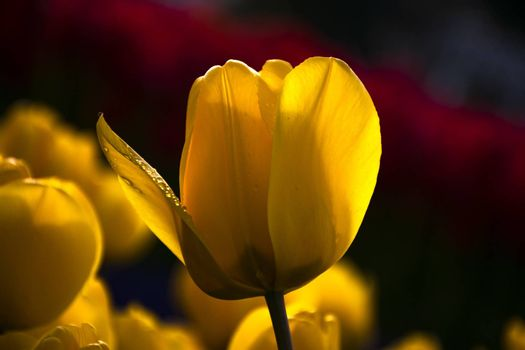 Water drop on yellow tulip's