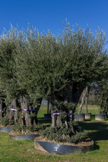 Plantation of olive trees, arranged in a row in the big vessels.