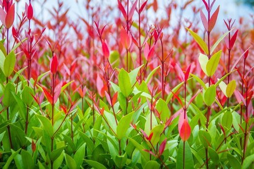 Beautiful red young leaves in the nature. Organic young red leaves background of Syzygium gratum tree, or shore eugenia. It has a distinctive red trunk with flaky bark and young leaves are reddish.