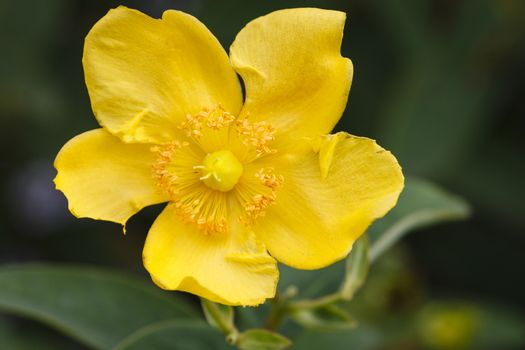 Hypericum - a yellow blossom - close-up