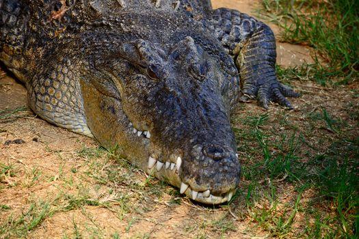 American alligators areapex predatorsand consumefish,amphibians,reptiles,birds, andmammals.