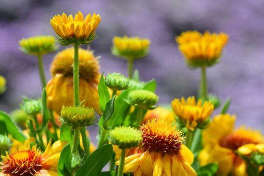 Macro; close-up; bright natural colours; softly defocused background; flowering Gaillardia, common name blanket flower