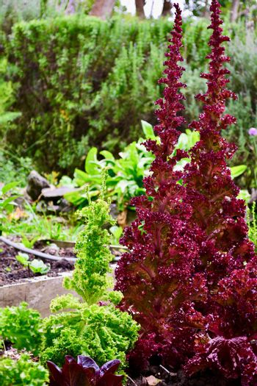 Garden problems; a lettuce plant bolting.