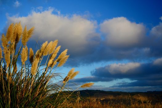 Tall golden grasses growing in a regional park