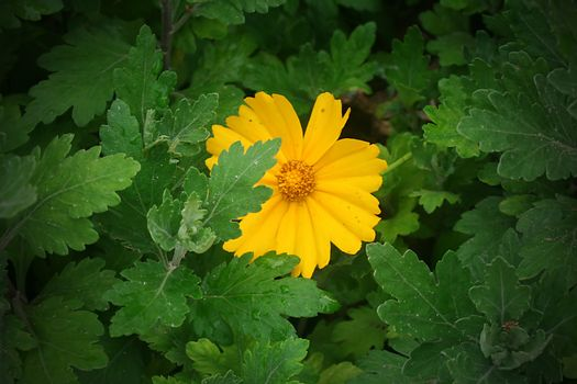 Yellow daisies in a summer garden close-up