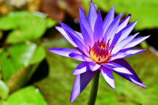 close-up photo of a flower; beautiful flowers, being close to nature, bringing nature close to you, lotus flower