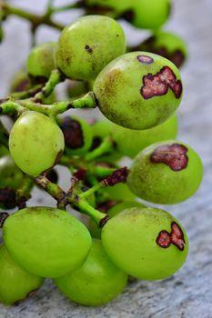 Black spot - plant disease of grapevines