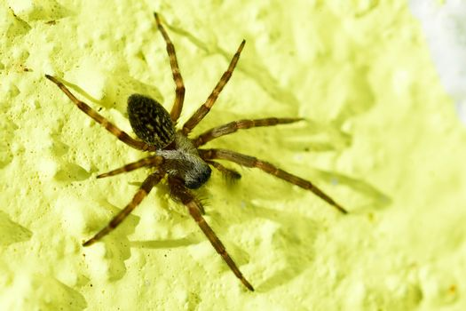 House spider - most common spider in the world
