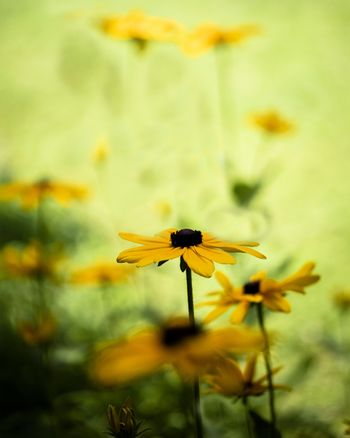 Ethereal view of a group of Black-eyed Susan flowers in the summer sun.