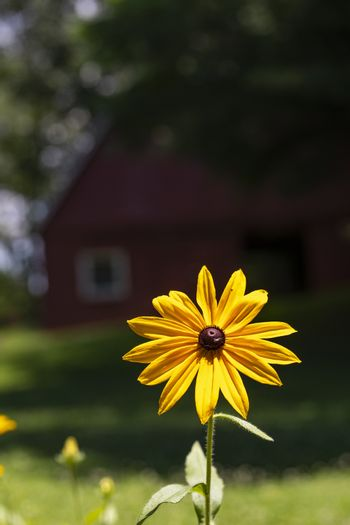 Large Black-eyed Susan bloom in bright summer sun with red  barn in background.